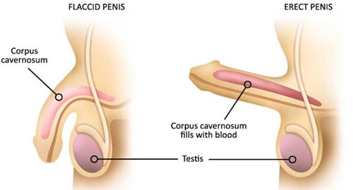 erectile function